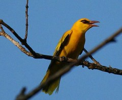 finch(0.0), animal(1.0), eurasian golden oriole(1.0), branch(1.0), yellow(1.0), fauna(1.0), beak(1.0), bird(1.0),
