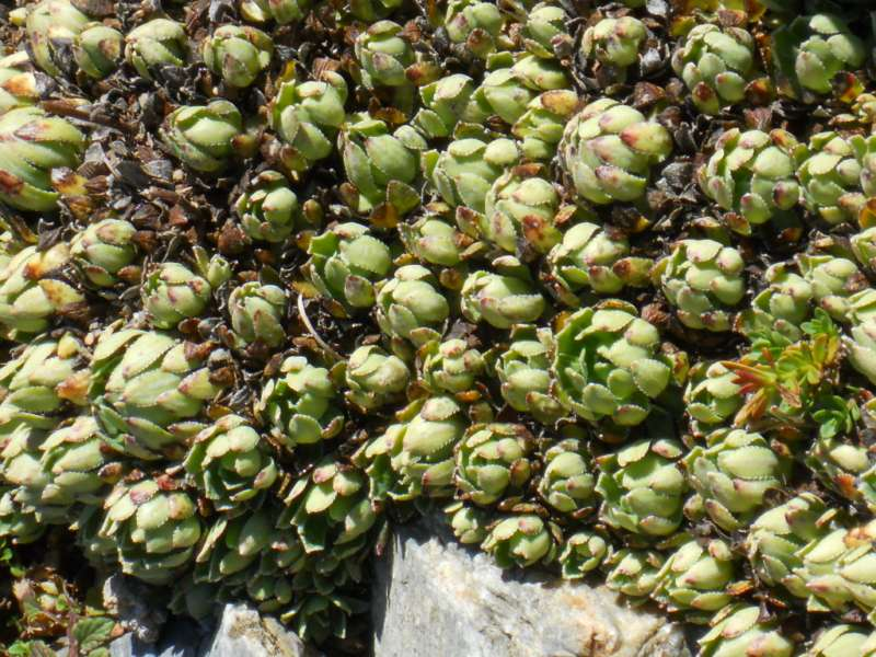 Saxifraga paniculata 1