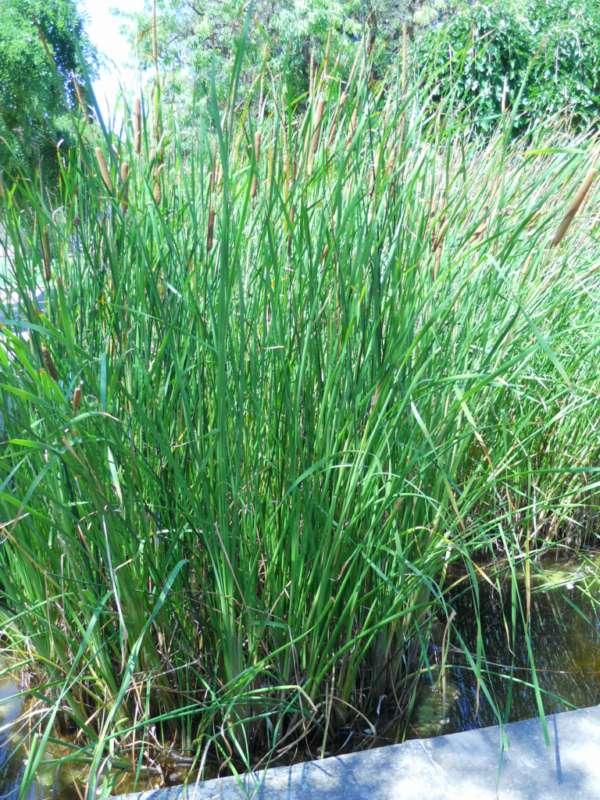 Typha angustifolia v 2