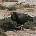 Bald Ibis (Bob Dawson)