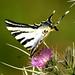 Lesser Swallowtail (Simon Woolley)