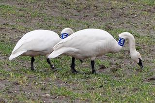 2011-03-18 Tundra Swans T643 & T644 (1024x680)