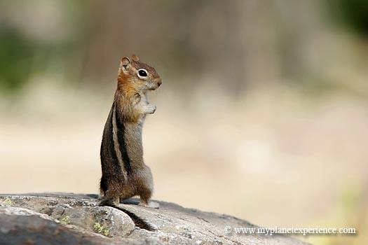 golden-mantled ground squirrel - Grand Teton National Park