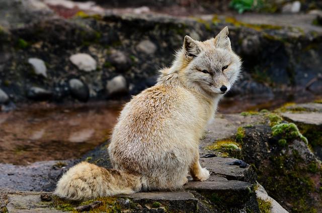 Korsak - Corsa Fox