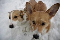 dog breed, animal, dog, pet, mammal, close-up, norwegian lundehund,