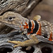 Sonoran Collared Lizard - Photo (c) Natalie McNear, some rights reserved (CC BY-NC)