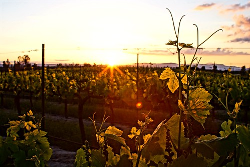 DSC00130 - Sunset In The Vineyard