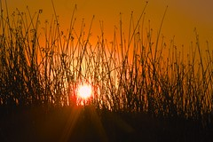 Sun rising behind the marsh grass/Carmel River Lagoon