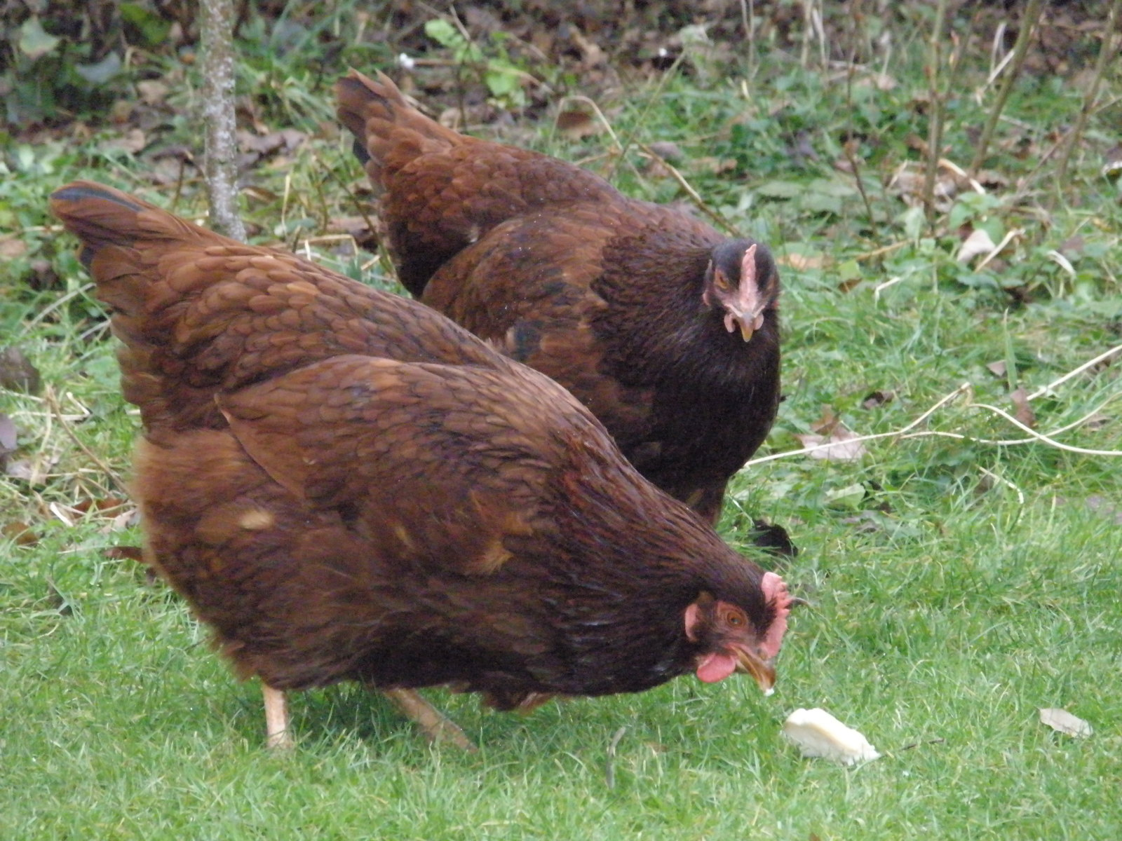 Rhode Island Red Hens. Credit: Sammmydavisdog Permission: CC BY 2.0