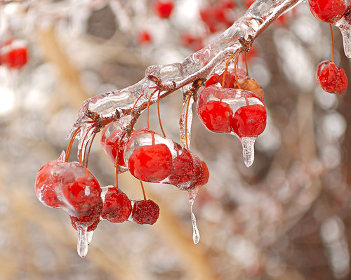 Fairgrounds Park, in Saint Louis, Missouri, USA - close-up of frozen berries