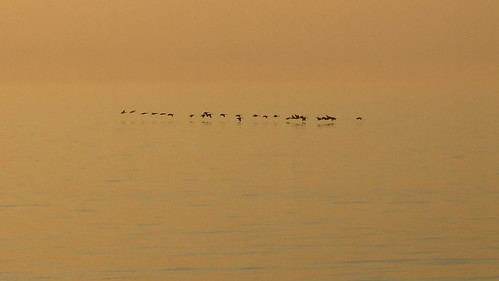 Canada Geese over a Golden Sea