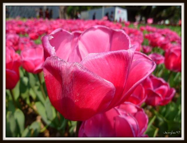Photo:Common Garden Tulipa-- 鬱金香03 By jennyhsu47