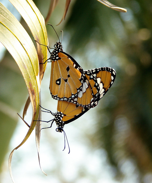 Plain Tiger Butterfly Mating - Amaraboti Lake - New Digha - Sex In The Park ...
