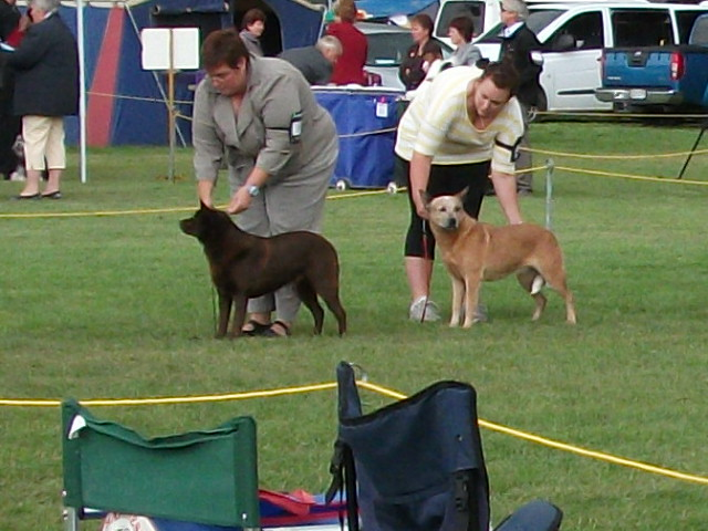 Red Australian Cattle Dog Cfoss Bull Terrier