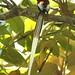 African Paradise Flycatcher (Julia Casson)