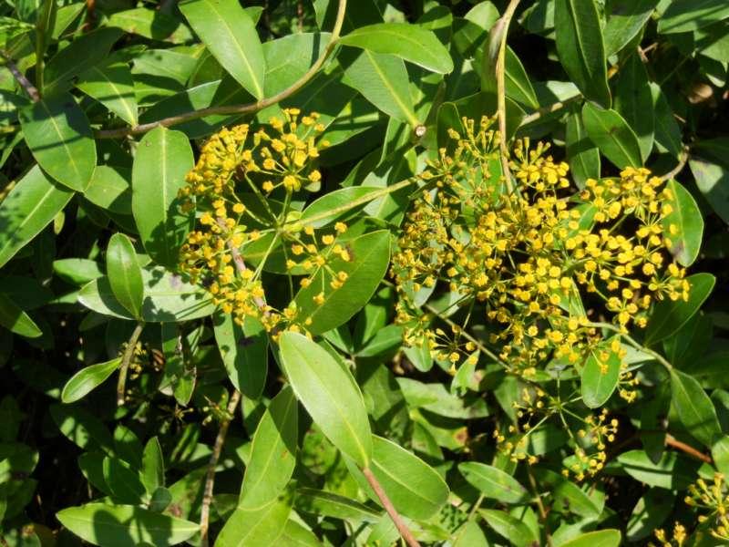 Bupleurum fruticosum 3