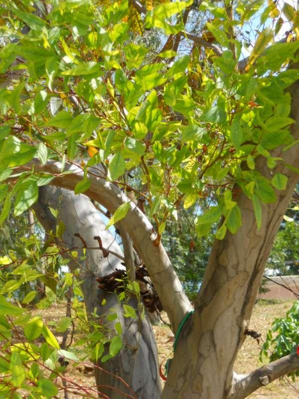 Eucalyptus megacornuta v 1