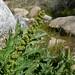 Chenopodium - Photo (c) randomtruth, some rights reserved (CC BY-NC-SA)