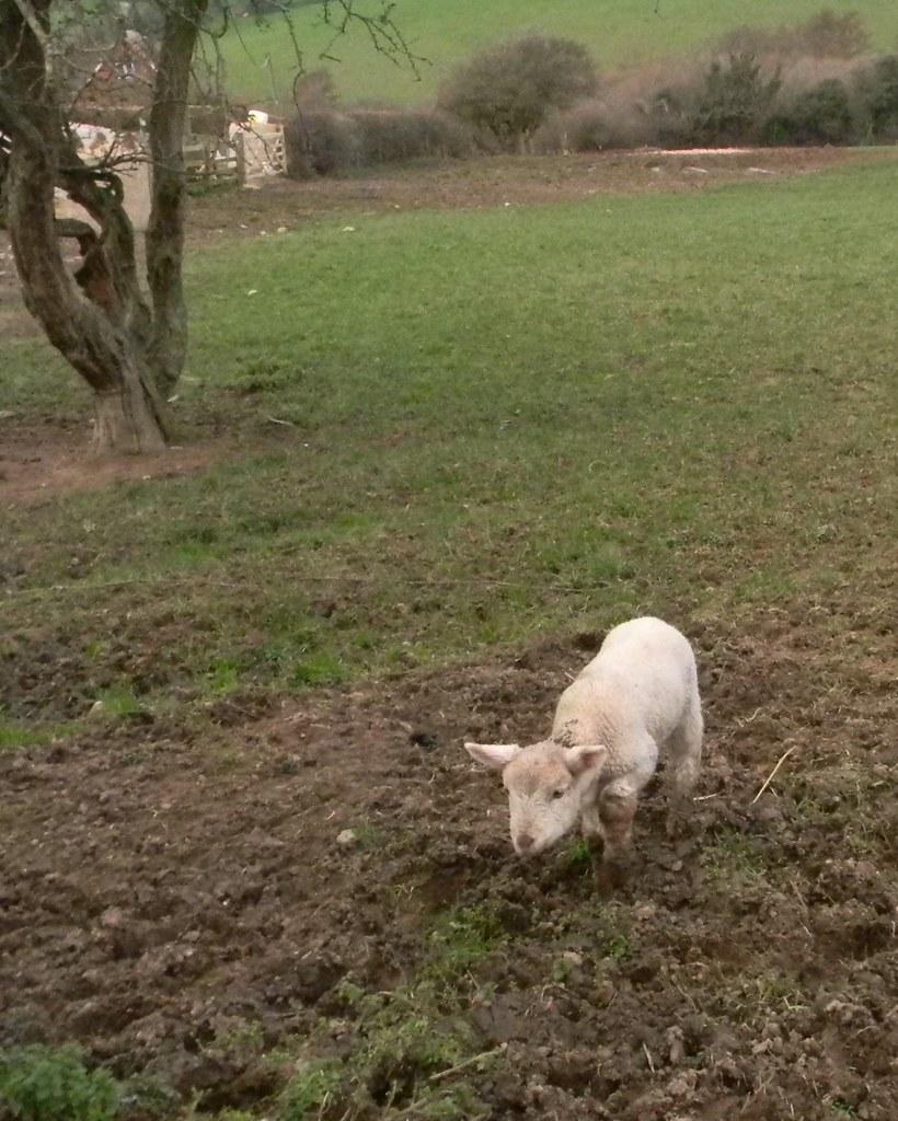 New lamb So new it was following us. Winchelsea Circular