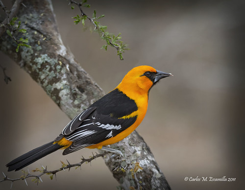 Altamira Oriole  IMG_1296edtvg | by cmescamilla