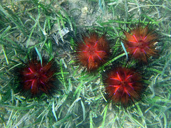 Fire urchins