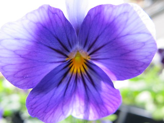 light purple pansy