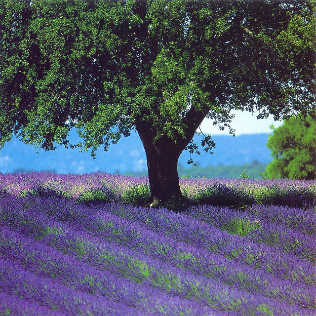lavender field and tree france flickr photo sharing