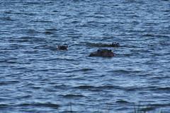 Hippos in Akagera National Park in Rwanda