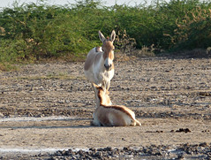 Asiatic Wild Ass - Little Rann