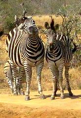 South Africa. Safari. Zebra