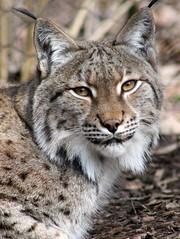 animal, small to medium-sized cats, mammal, lynx, pixie-bob, fauna, close-up, wild cat, whiskers, bobcat, wildlife,