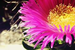 blossom(0.0), dorotheanthus bellidiformis(1.0), annual plant(1.0), flower(1.0), plant(1.0), macro photography(1.0), flora(1.0), close-up(1.0), cactus family(1.0), ice plant(1.0), pink(1.0), petal(1.0),