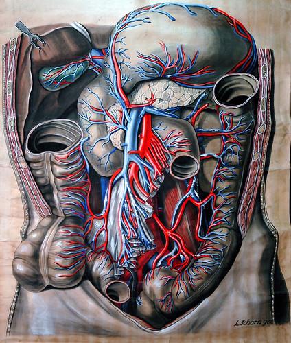 Anatomical drawing of abdomen, circa 1900