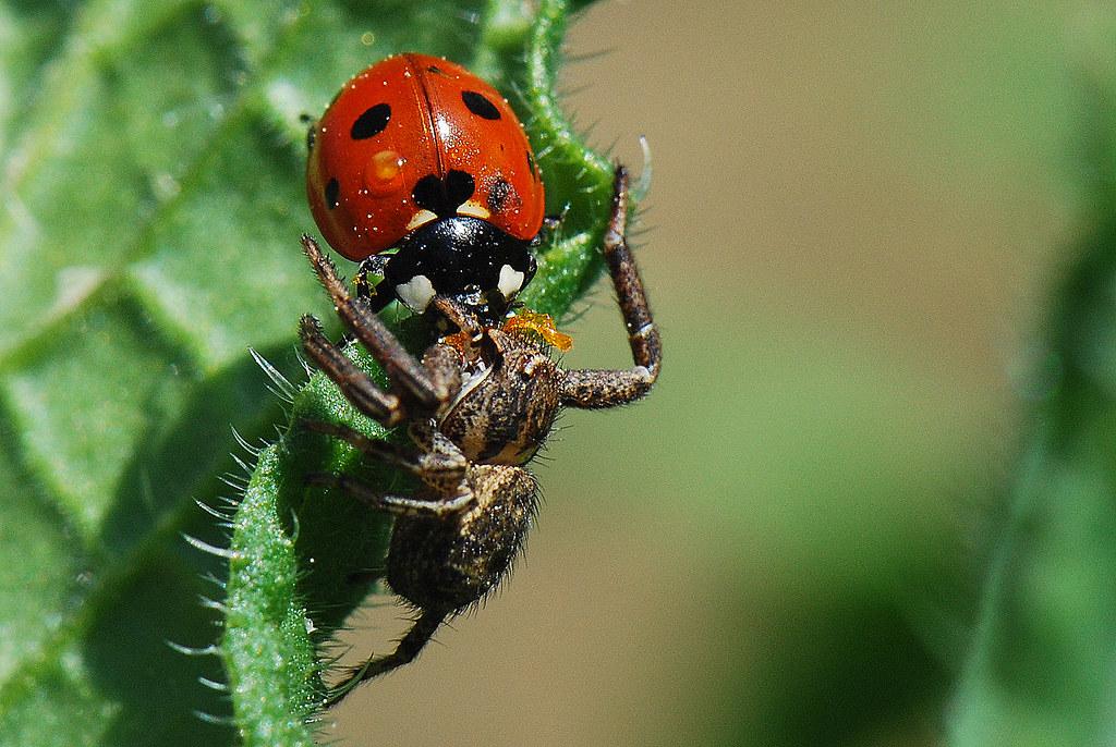 Araña contra mariquita