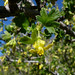 oak gooseberry - Photo (c) randomtruth, some rights reserved (CC BY-NC-SA)