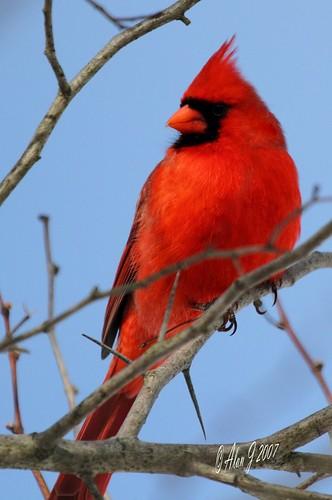 ny newyork birds canon cardinal 7d upstatenewyork capitaldistrict albanycountyny mygearandme mygearandmepremium 100x400mmusml
