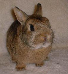 brown dwarf baby rabbits - photo #2