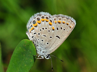 Karner blue butterfly (Lycaeides melissa samuelis) | by U.S. Fish and Wildlife Service - Midwest Region