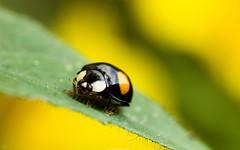 animal, ladybird, yellow, invertebrate, insect, macro photography, fauna, close-up, pest,