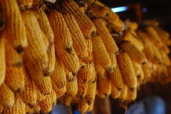agriculture, maize, macro photography, corn on the cob, produce, food, close-up,