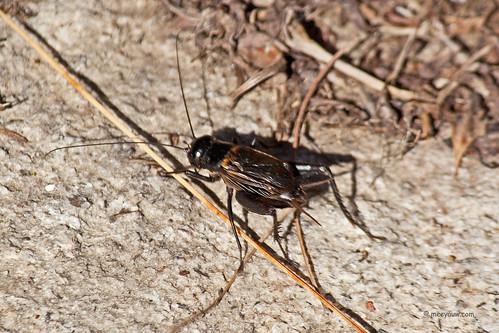fieldcricket grylluspennsylvanicus