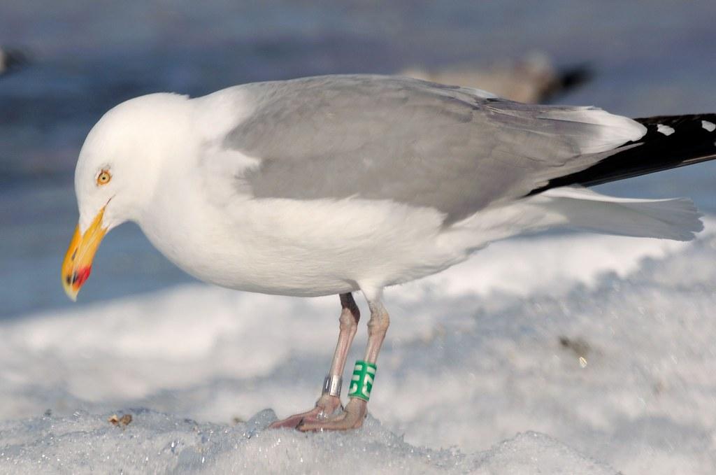 Herring Gull (white-on-green band C71)
