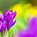 Crocuses and daffs by Steve-h