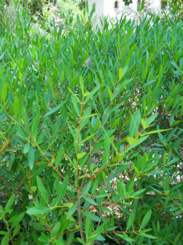 Phillyrea angustifolia v 2