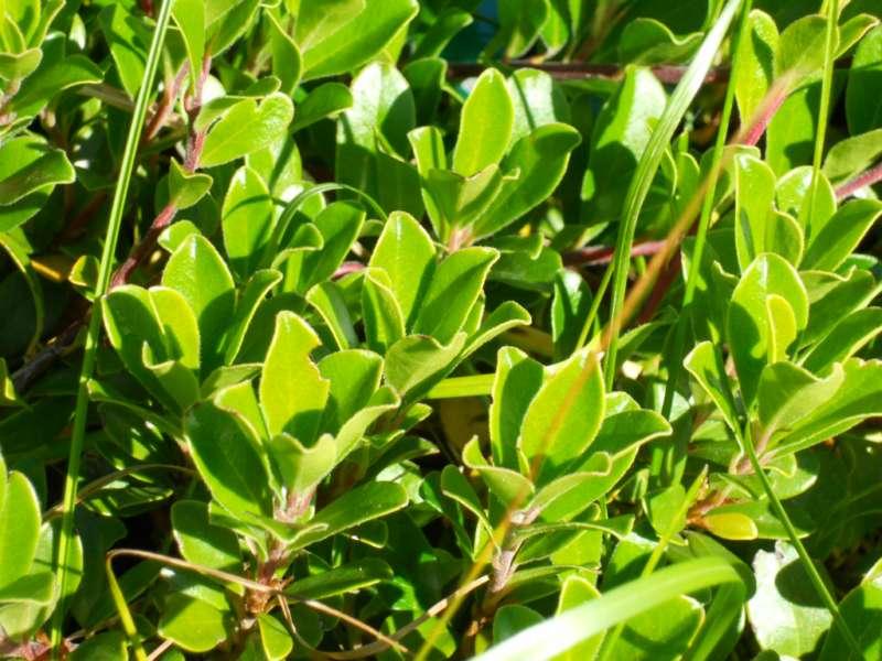 Arctostaphylos uva ursi 2