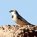 Desert Sparrow (Simon Woolley)