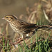 Savannah Sparrow (Peter Dunn)