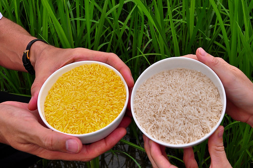 Golden Rice grain compared to white rice