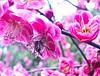 Sakura by Jane Photo1