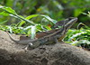 "<a href=""http://www.flickr.com/photos/anitagould/5538526733/"">Photo of Basiliscus basiliscus by Anita363</a>"